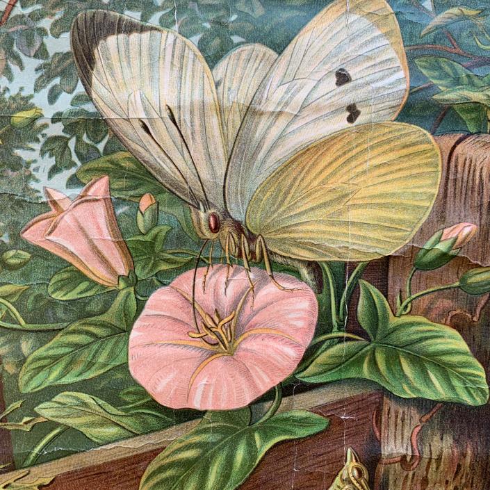 Vintage Schaubild / Schultafel Großer Kornweissling - Schmetterling